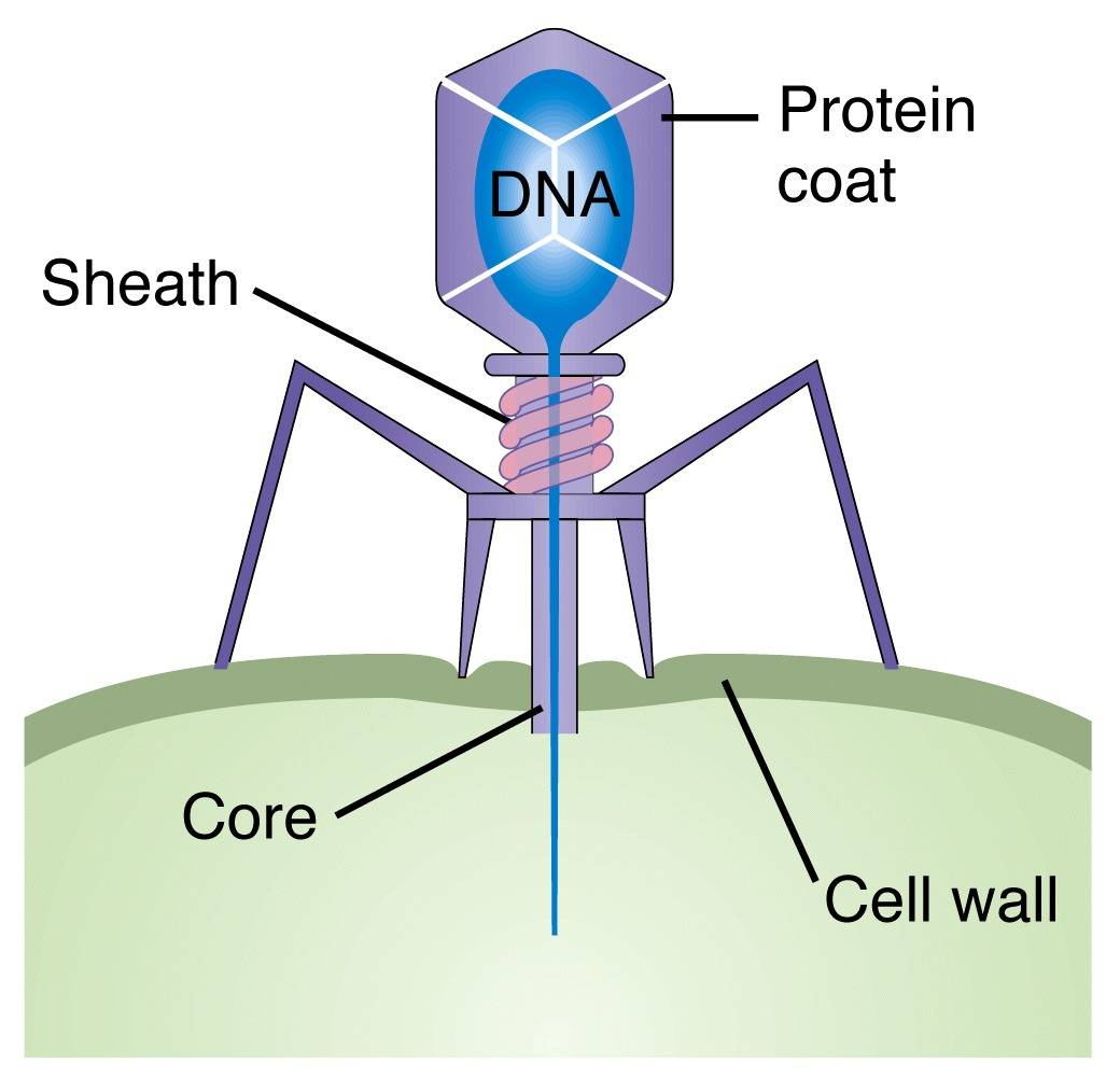 phage diagram 1